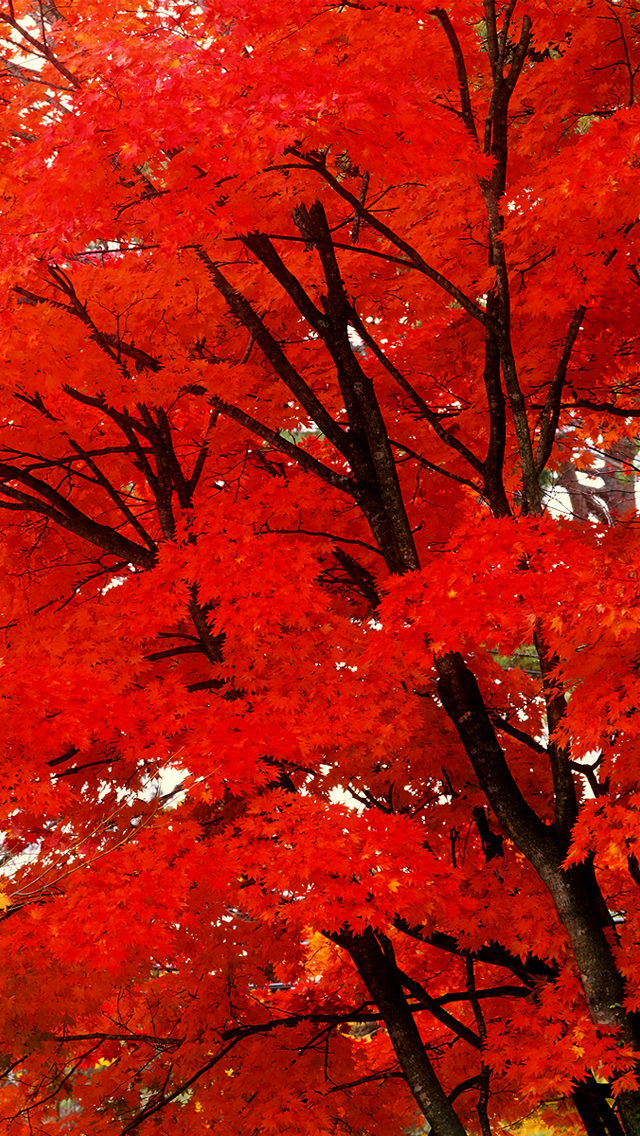 Awesome Red Leaves Tree
