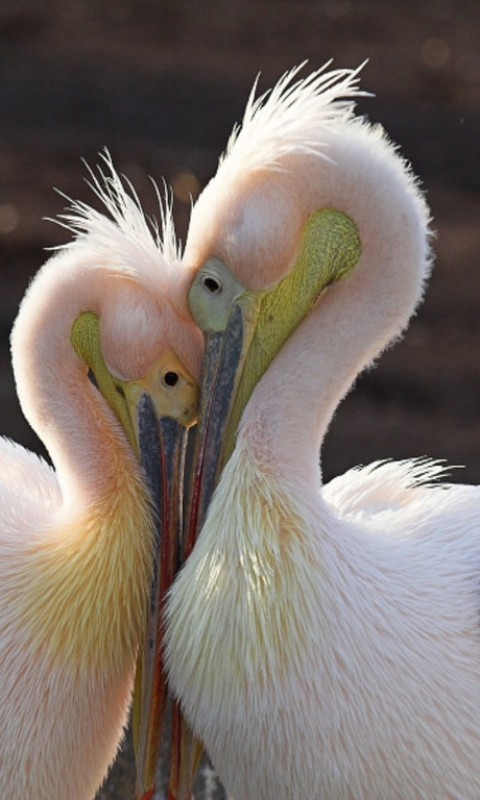 Pelican Love Wallpaper