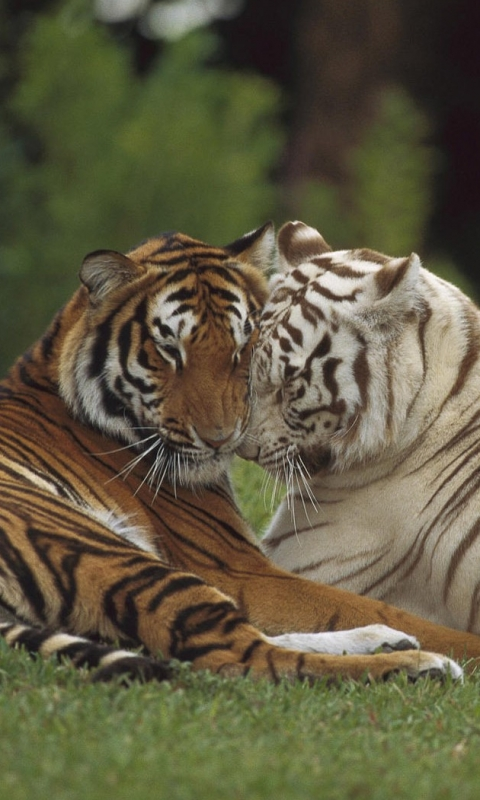 Tiger Wild Cat Couple Love