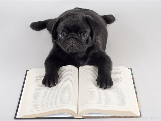 Black Pug Reading A Book