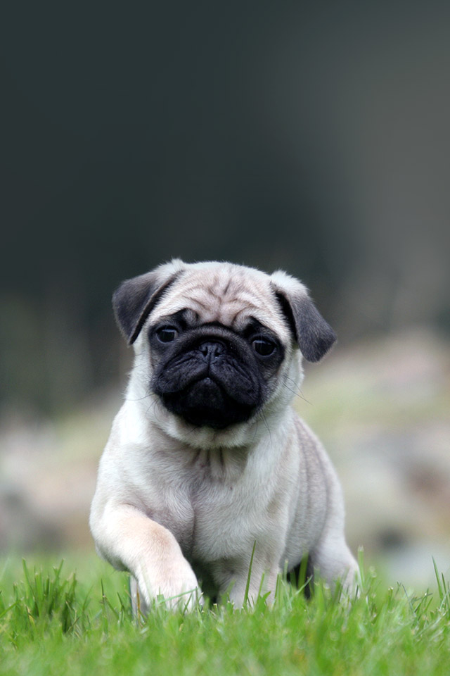 Cute Pug On Grass