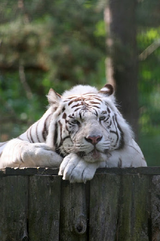 White Tiger Phone Background