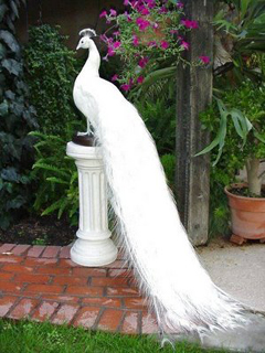 White Peacock Amazing Background