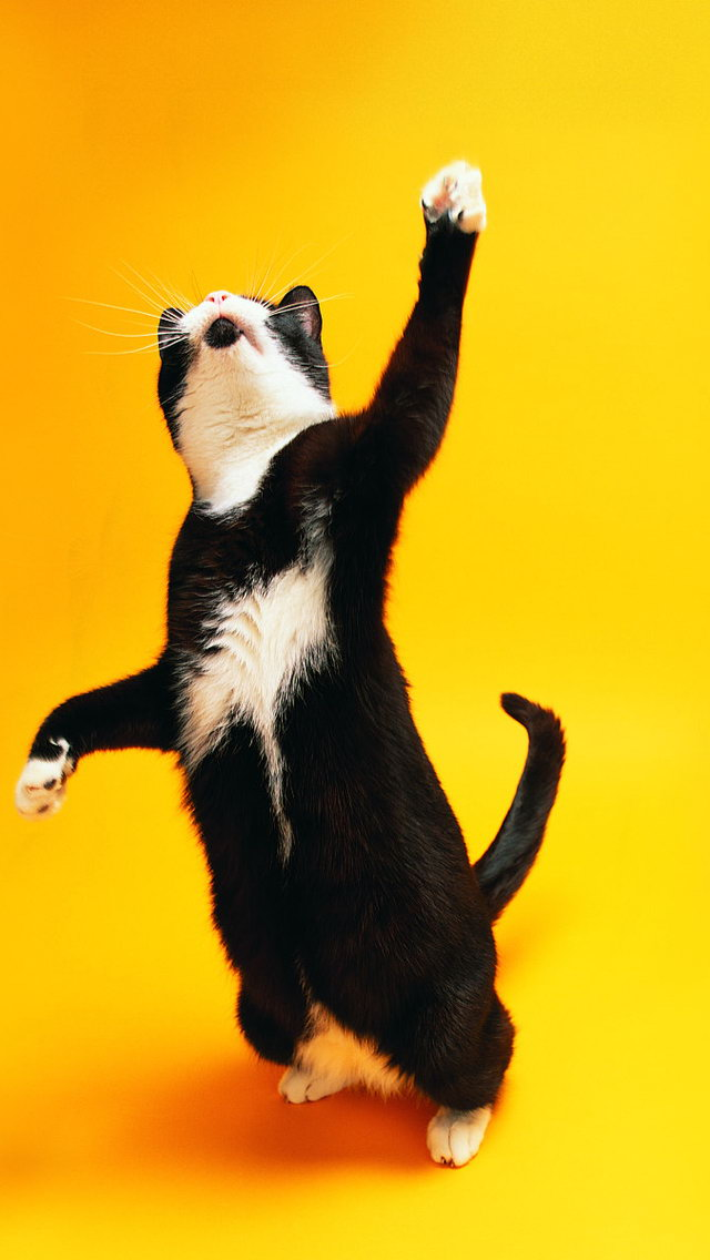 Funny iPhone Dancing Cat