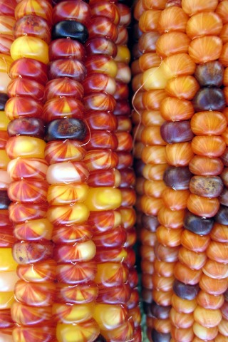 Thanksgiving Corn Picture