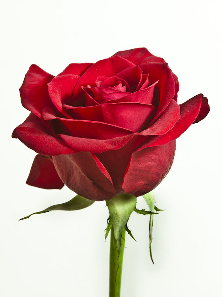 Red Rose Lovely Wallpaper
