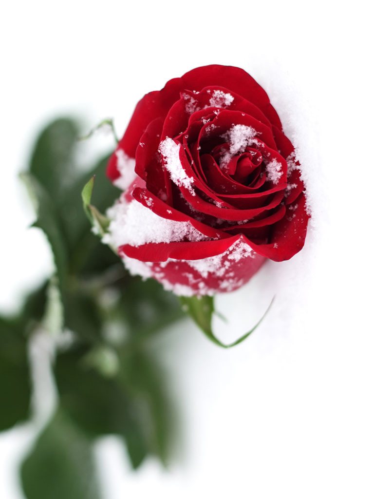 Red rose with snow effect - Rose in snow wallpaper ...