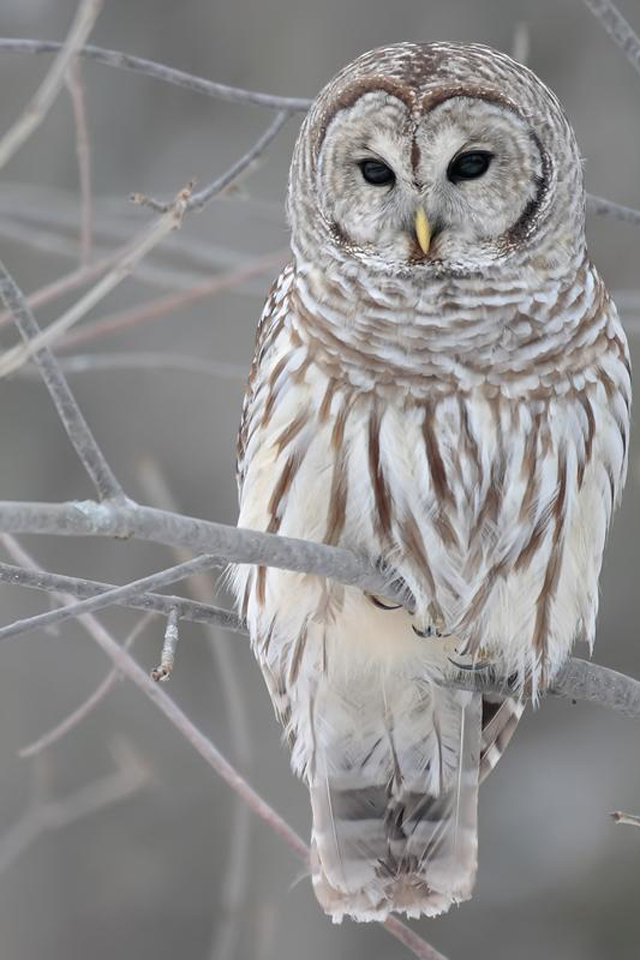 Owl HD Mobile Background