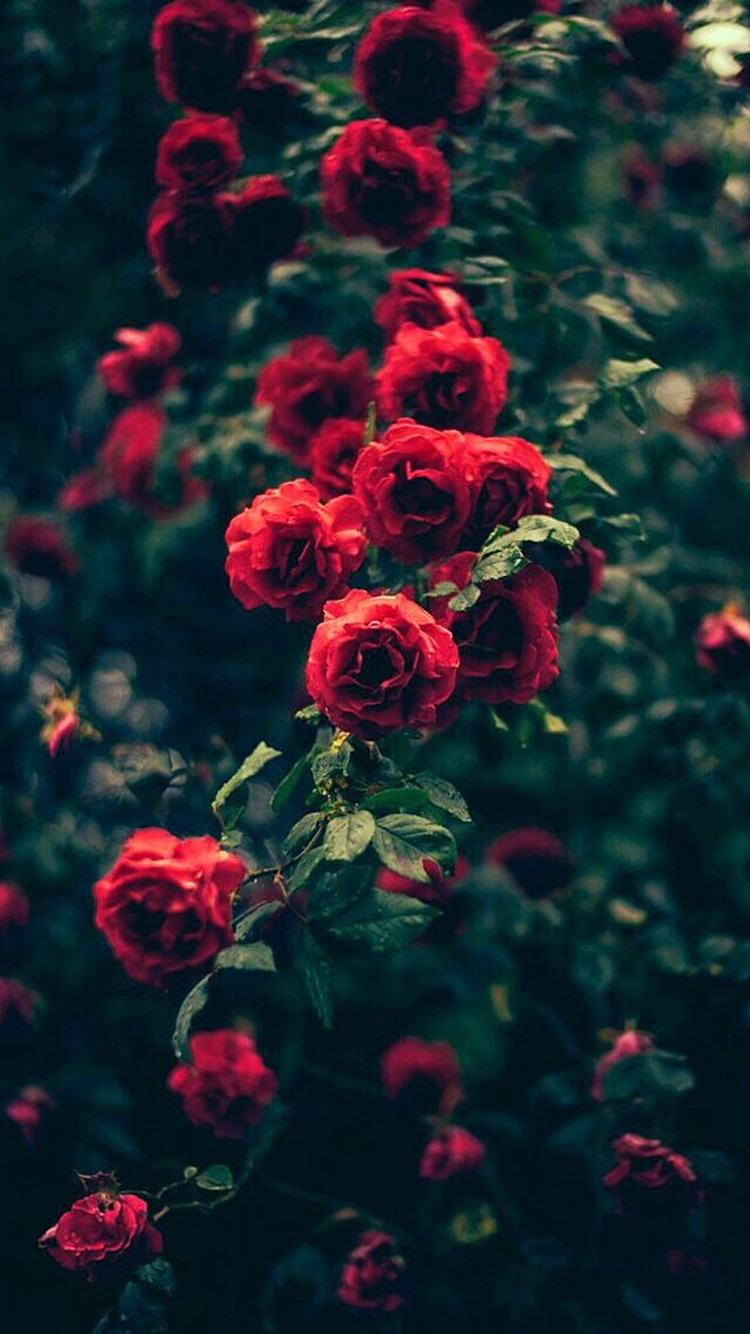 Beautiful Red Roses Garden