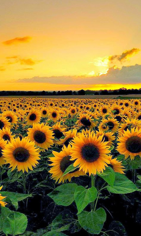 Sunflower Nature Beauty