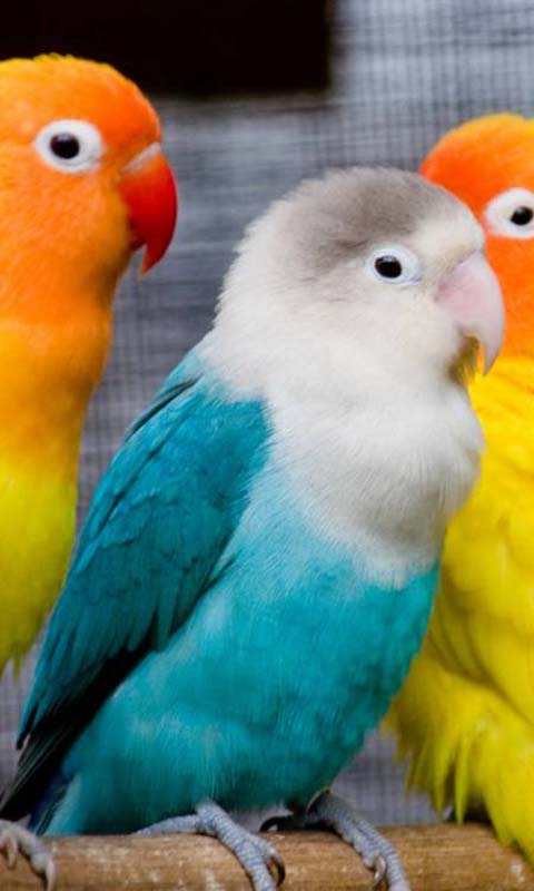 Colorful Peachface Birds