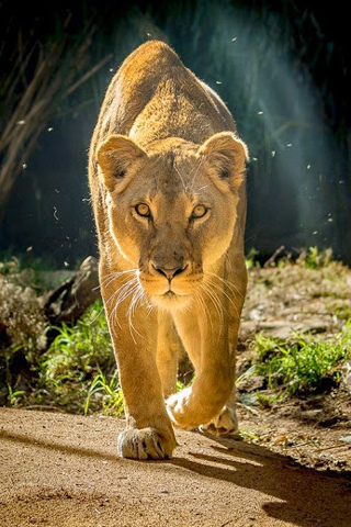3D Lion iPhone HD Wallpaper