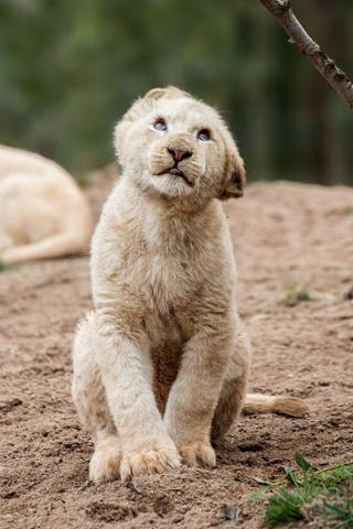 Cute Lion Cub Phone Wallpaper