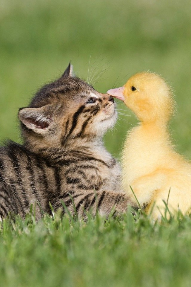 Kitten Duckling Friendship Day Wallpaper