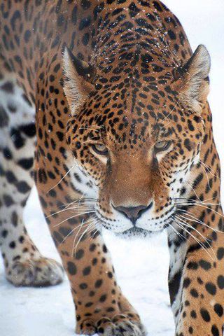 Leopard iPhone HD Background