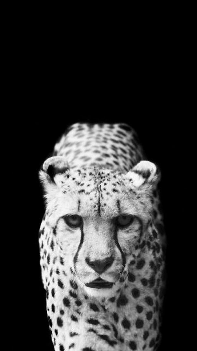 White Leopard Black Background