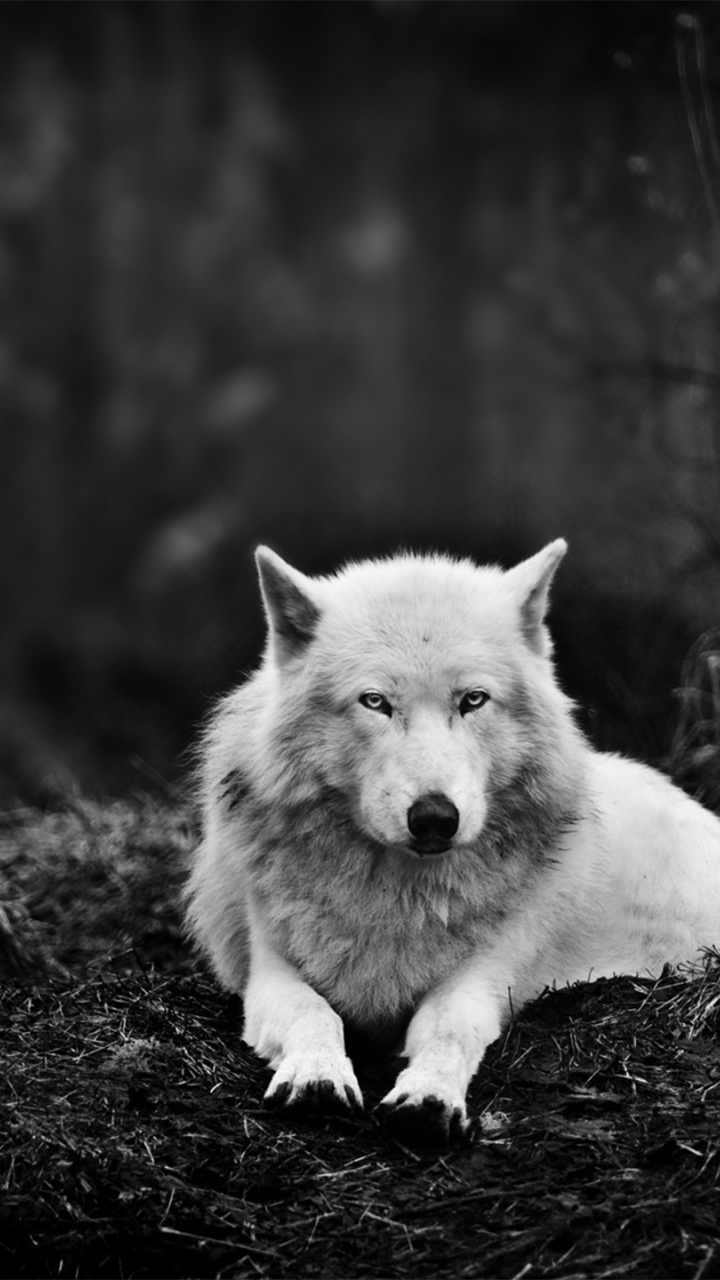 wolf iphone wallpaper white wolf in the forest 8538