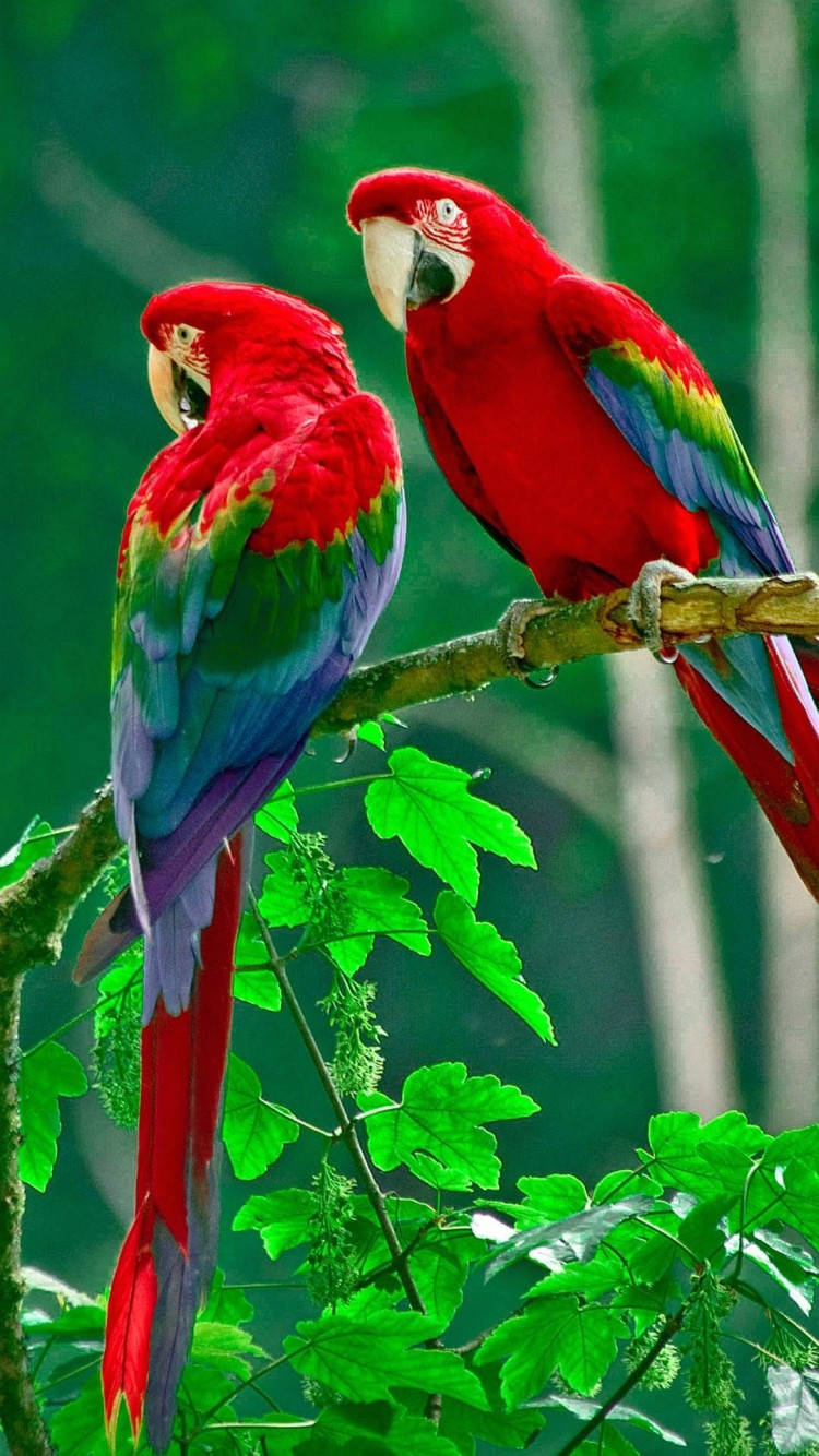Beautiful Red Parrots