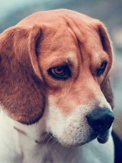 Red Beagle Dog